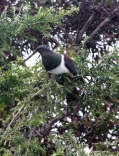 Kereru - NZ's native wood pigeon
