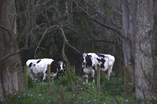 Cows in Spring