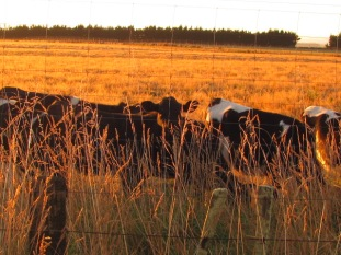 Calves in the Rangitikei