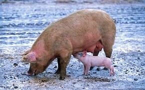 pig-139712__180