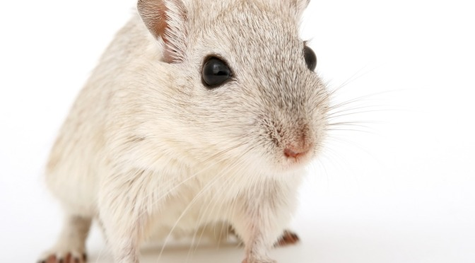 """MSG-Treated"" Lab Rats are Obese Rats"