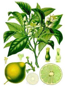 Citrus_bergamia_-_Köhler–s_Medizinal-Pflanzen-184.jpg