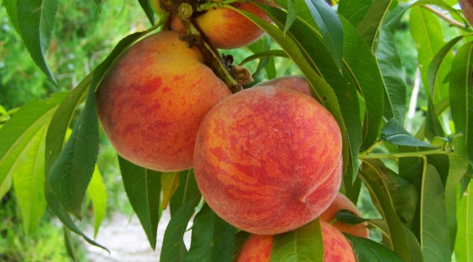 Fukushima peaches anybody?