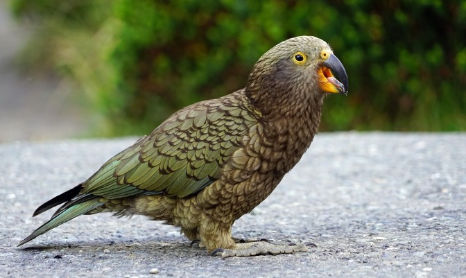 With a long history of poisoning Kea, DoC is set to finish off what remains – Dr Jo Pollard