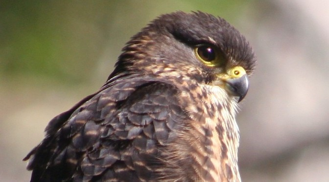 Why is a NZ vineyard that's certified organic using poison that kills falcons?