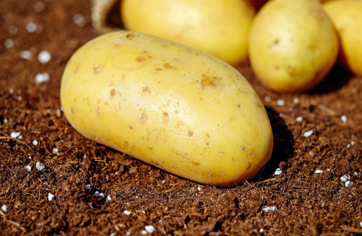 NZ Food Standards Has Approved GE Potatoes ... Ignoring the Health Risks!