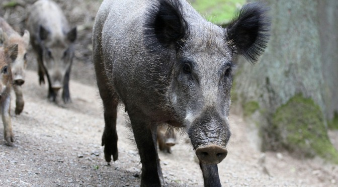 Wild Boar Botulism Family Speak Out – The Full Story from the GrafBoys