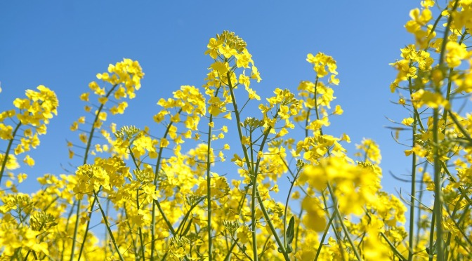 Canola the new margarine is made with a gasoline constituent – throw it all out