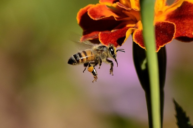 Japan has just invented Robo-bees that can 'legitimately' pollinate the earth – why?