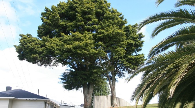 Why is HDC allowing the felling of a protected Totara tree on a formerly Council-owned Foxton property, by the new owners Willis & Bond / Compassion Horowhenua? (amended article)