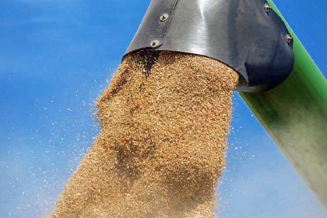 Unapproved Genetically Modified Wheat Found In Canada