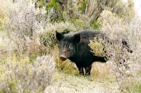 Between 2012 & 2014, Auckland Council tested wild pigs for brodifacoum (rat poison) residues … of the 14 tested, 13 were positive for poison residues (Clyde Graf)