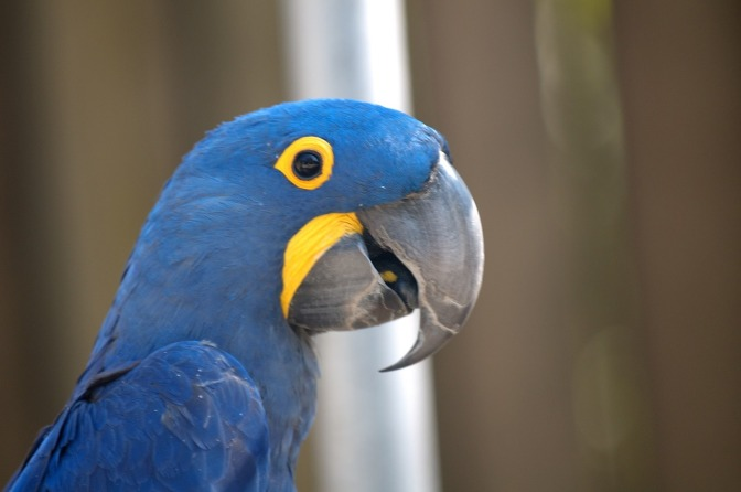 "The blue macaw parrot that inspired ""Rio"" is now officially extinct in the wild"