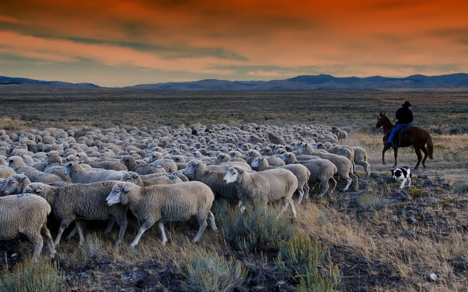 A farmer who lost 570 ewes following an accidental 1080 drop on his farm said that 6 months later sheep were still dying