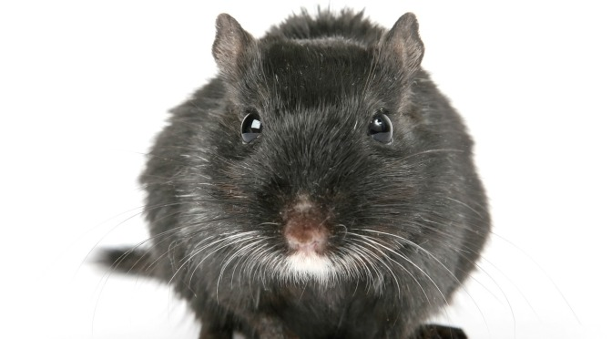DoC admits their 1080 rat control operation only lasts 3-6 months … ANNUAL poisoning now for Heaphy Vlly & Coast