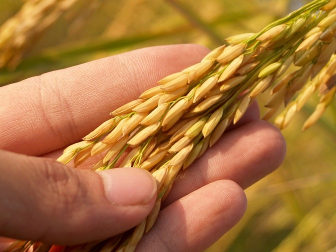 The flopped GMO Golden Rice of 2 decades ago was approved in 2018 to enter the US food supply