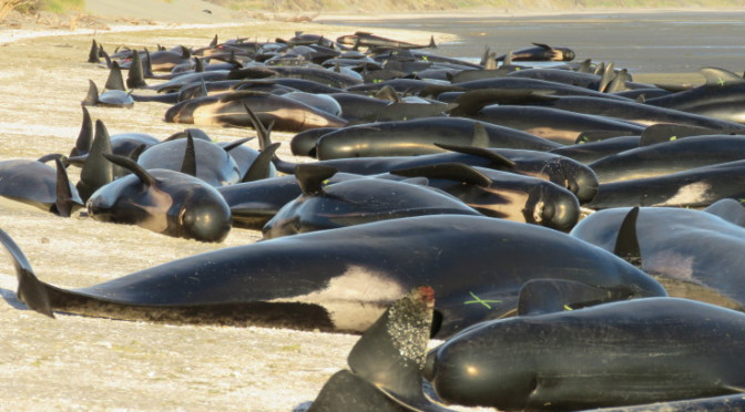 More recent whale strandings around NZ & the Chathams & what mainstream isn't telling you
