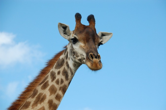 Giraffe subspecies listed as 'critically endangered' for first time