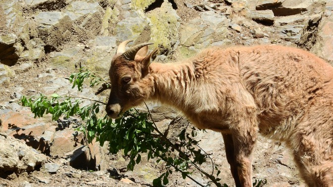 Baby Tahr left to die of cold & starvation as Sth Island cull gets under way, right on calving