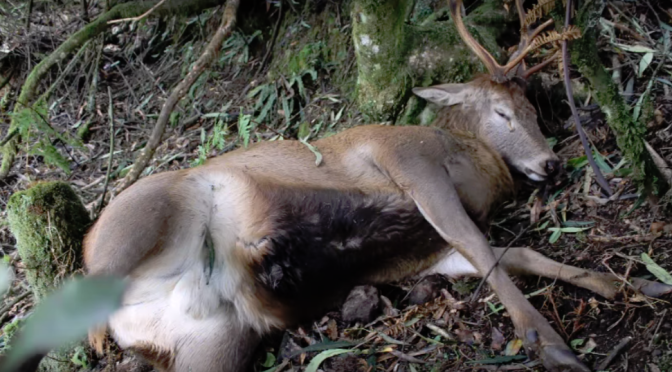 DEER POISONED WITH 1080 can experience exploded internal organs, they tear open their own stomachs with their antlers, blood oozes from eyes & nose & their eyes pop out