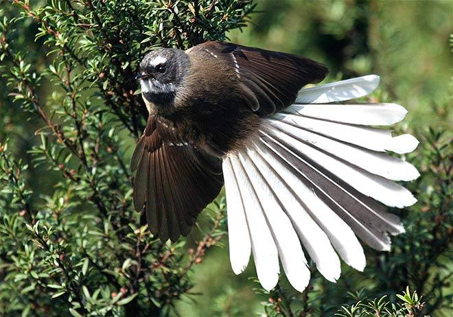 FANTAIL PIC TE ARA. 1080S DESTROYED ALL FANTAILS AROUND GUNNS CAMP HV FIORDLAND