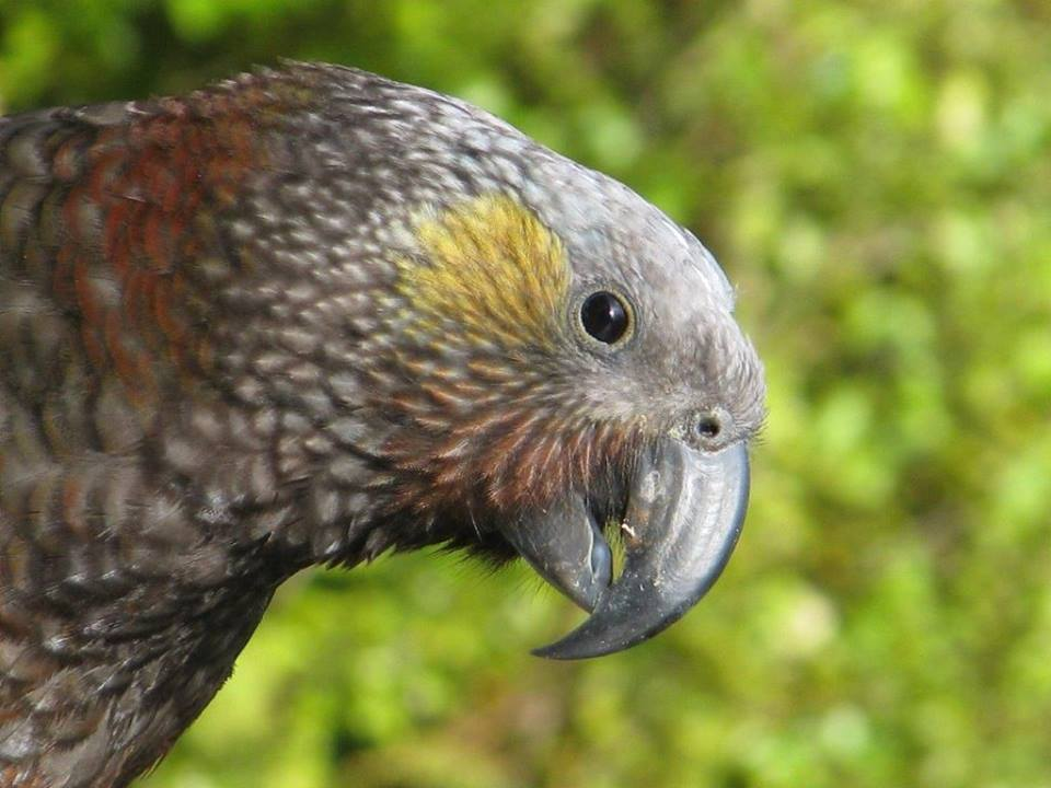 KAKA PHOTO. BIRDING NZ. SPECIES NRLY WIPED OUT BY 1080 IN HOLL VLY