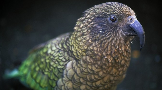 A NZ heli-hunter of 47 years has observed that none of the once-prolific pre-1080-drop Kea are left in Hollyford & Clinton Vllys Fiordland