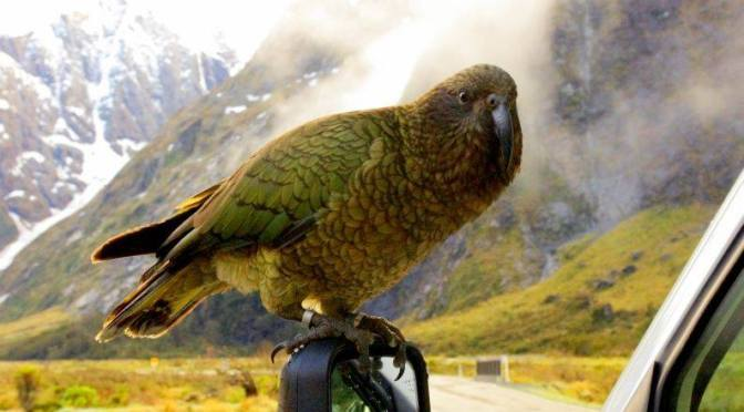 A NZ ecologist firmly believes the near extinction of our Kea & Rock Wren is due to the continued use of 1080