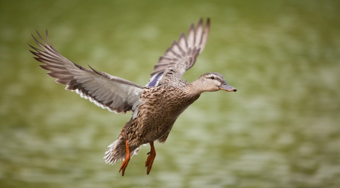 A duck shot in Nthn Southland contains what may well be a poison pellet – duck shooters beware