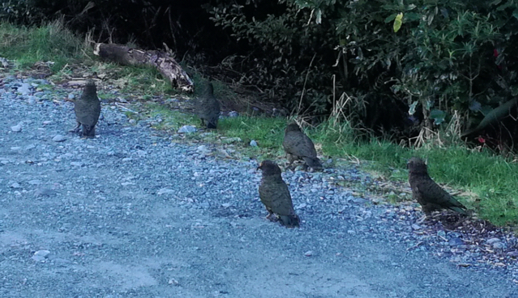 Kea in Milford Sound, down near Deep Water Basin May 2019 Photo Sacha Stevenson