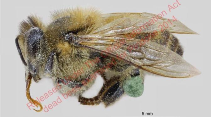 Registered by DoC as a wasp bait, 1080 is being gathered by bees & NZ has no accredited test for it in honey
