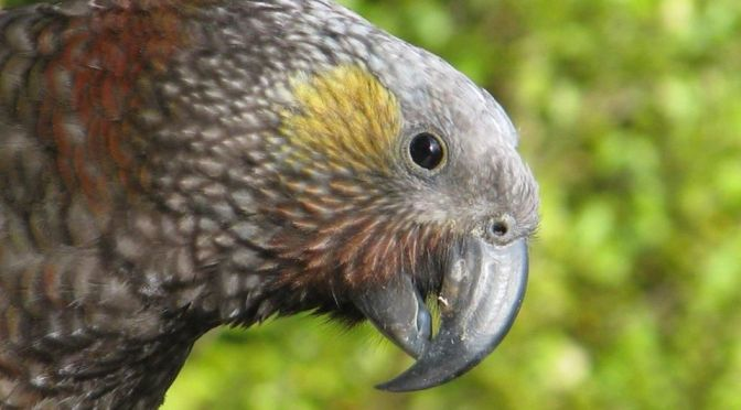 Autopsies suggest two native NZ kākā deaths at the Ōrokonui Ecosanctuary are due to poison from OSPRI bait stations
