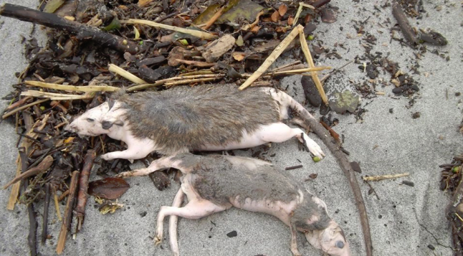 """DOC's underwhelming response and fanciful explanations"" for the West Coast wildlife deaths are ""simply not good enough"" says a Veterinarian (Dr Trolove, Pres. NZFFA)"