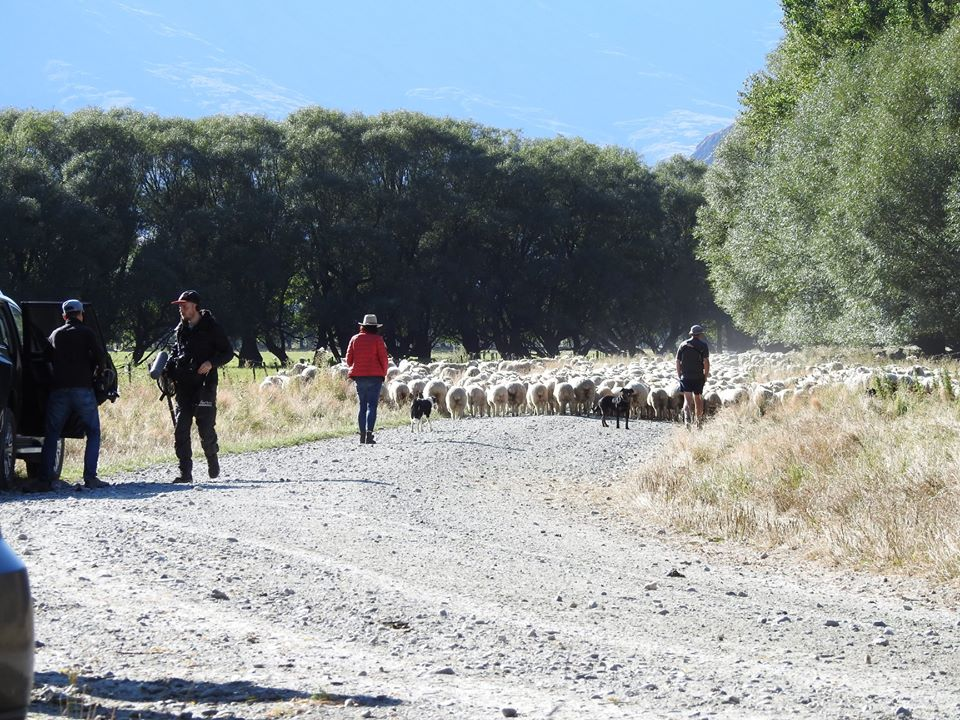 6. 1080 sheep