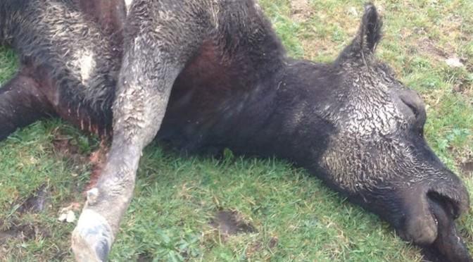 Cows & Endangered Birds Poisoned in Taranaki Aerial Drop