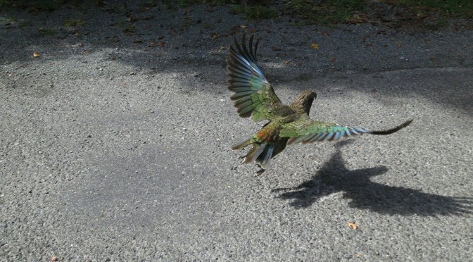 A whole flock numbering hundreds of Kea wiped out in one 1080 drop – a farmer speaks out