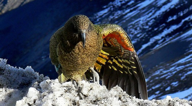 Six kea, half of a Conservation Trust study, have died following an aerial 1080 drop in Otago