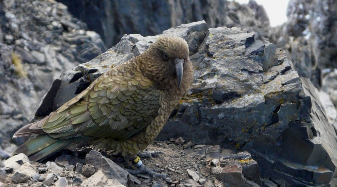 Conservationists in NZ sounding the alarm over drop in the numbers of the famously inquisitive kea bird