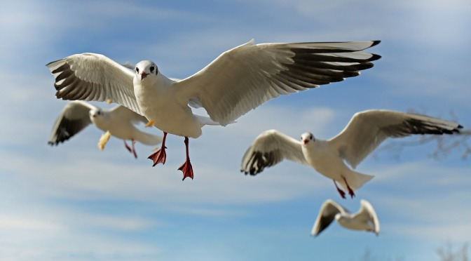 Increasing numbers of dead and dying seagulls being found at Waikawa Beach on the Horowhenua coastline again