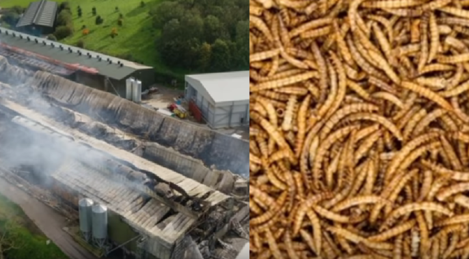 Insects not meat; about your future food supply as current ones are destroyed by fire (plus other updates from the Ice Age Farmer)