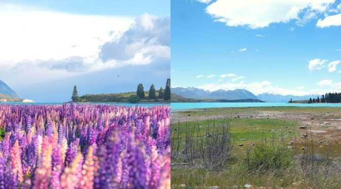 The mystery of Tekapo's disappearing lupins: Who killed the social media star?