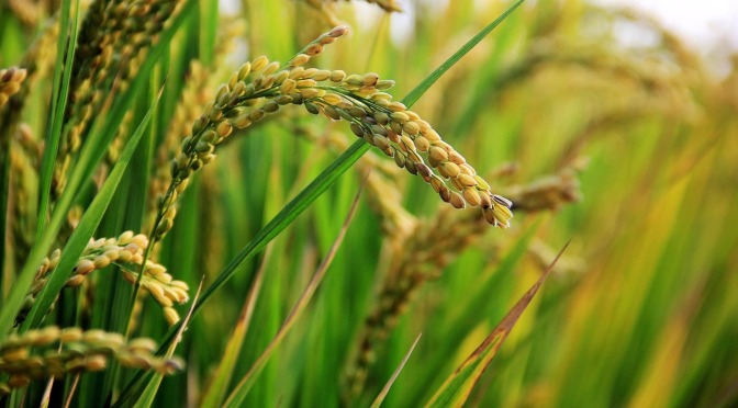"""The """"Golden Rice"""" Hoax – When Public Relations replaces Science – By Vandana Shiva"""