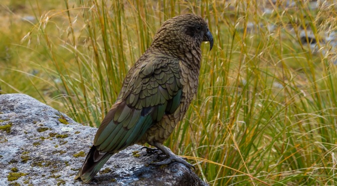 """DoC's own data reveals each poisoning operation kills on average 12% of NZ's native kea – """"a tragedy easily avoided"""" – Dr Jo Pollard"""