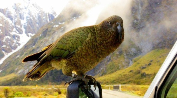 Read Dr Fiona McQueen's letter on 1080 poisoning & NZ's native birds that the Wanaka Sun declines to publish